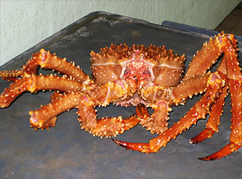 Live King Crab